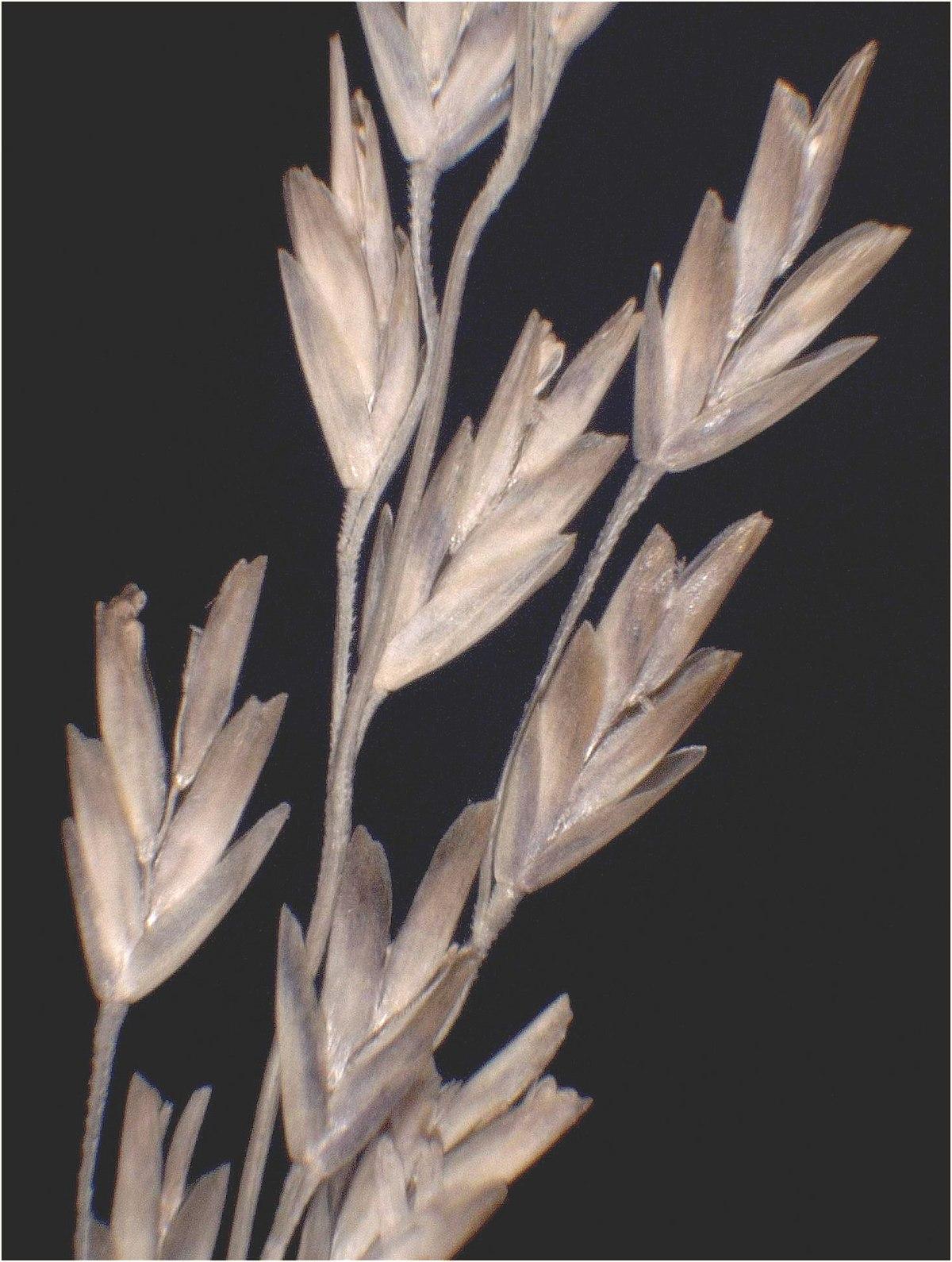Puccinellia fasciculata - Wikipedia