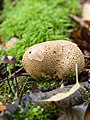 Puffball fungus (10493408814).jpg