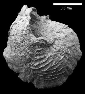 Microconchida - Punctaconchus midfordensis (Richardson, 1907). Bajocian, Clypeus Grit Member, Worgan's Quarry, Gloucestershire, UK.