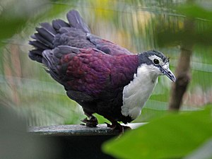 Purple Ground Dove RWD.jpg