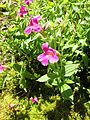 Purple monkeyflower - Flickr - brewbooks.jpg