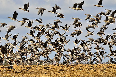 Putnu migracija alauksta ezera tiruma.jpg