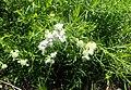 Pycnanthemum tenuifolium kz5.jpg