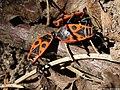 Pyrrhocoris apterus 09.JPG