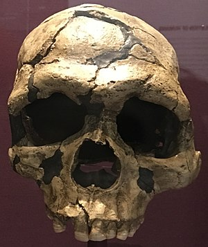 Skhul and Qafzeh hominins - Image: Qafzeh 6 cast