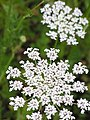 Queen Anne's Lace 1r.jpg