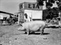 Queensland State Archives 1689 Champion Large White sow 1951.png