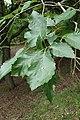 Quercus aliena kz03.jpg