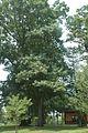 Quercus coccinea (23826525829).jpg