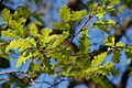 Quercus gussonei Ficuzza 0042.JPG