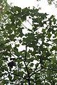 Quercus ilicifolia (24036223332).jpg