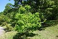 Quercus petraea - Arnold Arboretum - DSC06923.JPG