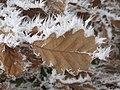 Quercus petraea RF.jpg