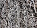 Quercus rubra 2017-05-23 0496.jpg