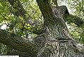 Quercus velutina 5zz.jpg