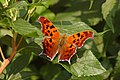 Question Mark Polygonia interrogationis Leaf 3008px.jpg