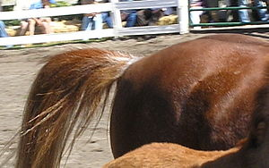 Rabicano - This chestnut rabicano has white hairs arranged in bands or rings around the base of the tail, a trait called a coon tail or skunk tail