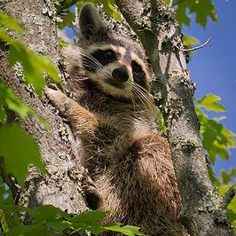 Gewone wasbeer (Procyon lotor)