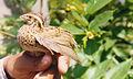 Rain Quail Coturnix coromandelica Female Amravati.jpg
