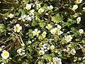 Ranunculus aquatilis (plant).jpg