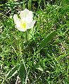 Ranunculus kuepferi.jpg