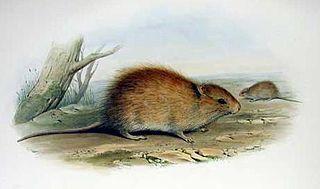 Australian swamp rat species of mammal