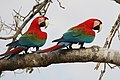 Red-and-green macaws (Ara chloropterus).JPG