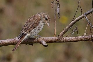 Strakoš červenochrbtý (syn. s. obyčajný) (Lanius collurio) - samička