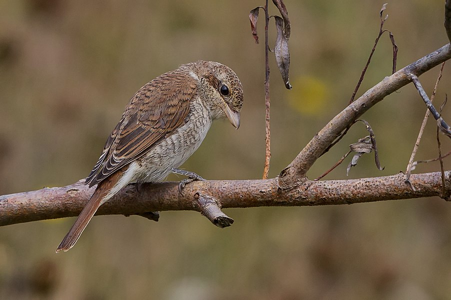 English:  Female Red-backed Shrike.