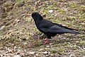 Red-billed Chough I IMG 7085.jpg