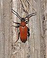 Red-brown Longhorn Beetle (Stictoleptura rubra) (22886597937).jpg