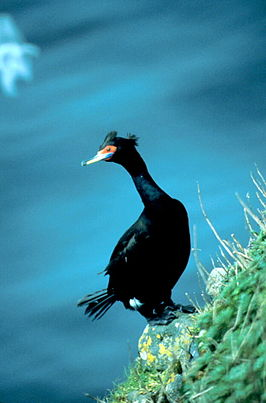 Red-faced Cormorant.jpg
