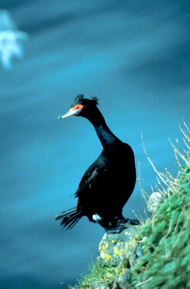 Corvo mariño de cara vermella