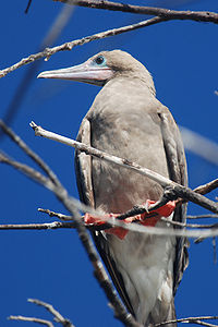 Red-footed Booby (Sula sula) 1166057565.jpg