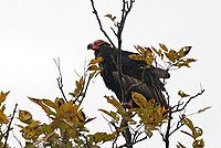 Red-headed-Vulture