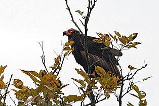 Red-headed-Vulture.jpg