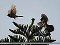 Red-vented Bulbul (Pycnonotus cafer) (15268388403).jpg
