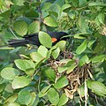Red Winged Blackbird Feeding (4823975966).jpg