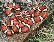 Red milk snake.JPG