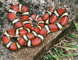 Ophiology - Image: Red milk snake
