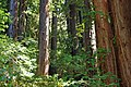 Redwoods on hillside San Francisquito Creek Jasper Ridge 2011.jpg