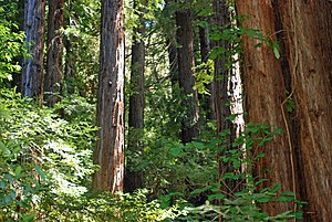 Jasper Ridge Biological Preserve - Coast Redwoods in San Francisquito Creek valley below Searsville Dam