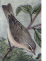 Reed-red-eyed-vireo.png