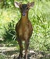 Reeve's Muntjac. Muntiacus reevesi - Flickr - gailhampshire (2).jpg