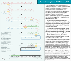 Reverse transcription of the HIV genome into double strand DNA