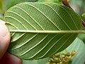 Rhamnus betulifolia var obovata 4.jpg