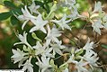 Rhododendron atlanticum 2zz.jpg