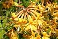 Rhododendron austrinum 1zz.jpg