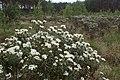 Rhododendron tomentosum kz19.jpg