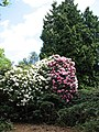 Rhododendrons in full bloom - geograph.org.uk - 806151.jpg